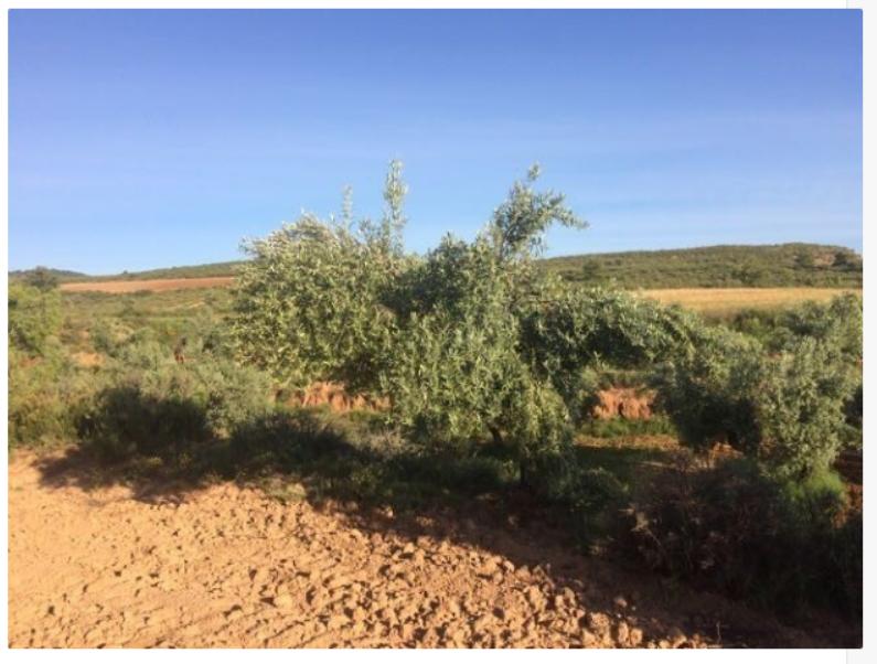 Empresa de traducción ética: ¡hemos apadrinado un olivo! 1